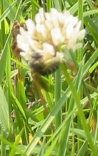 wildflower_4760_beeOnClover